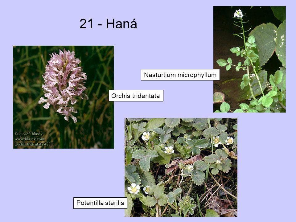 21 - Haná Nasturtium microphyllum Orchis tridentata