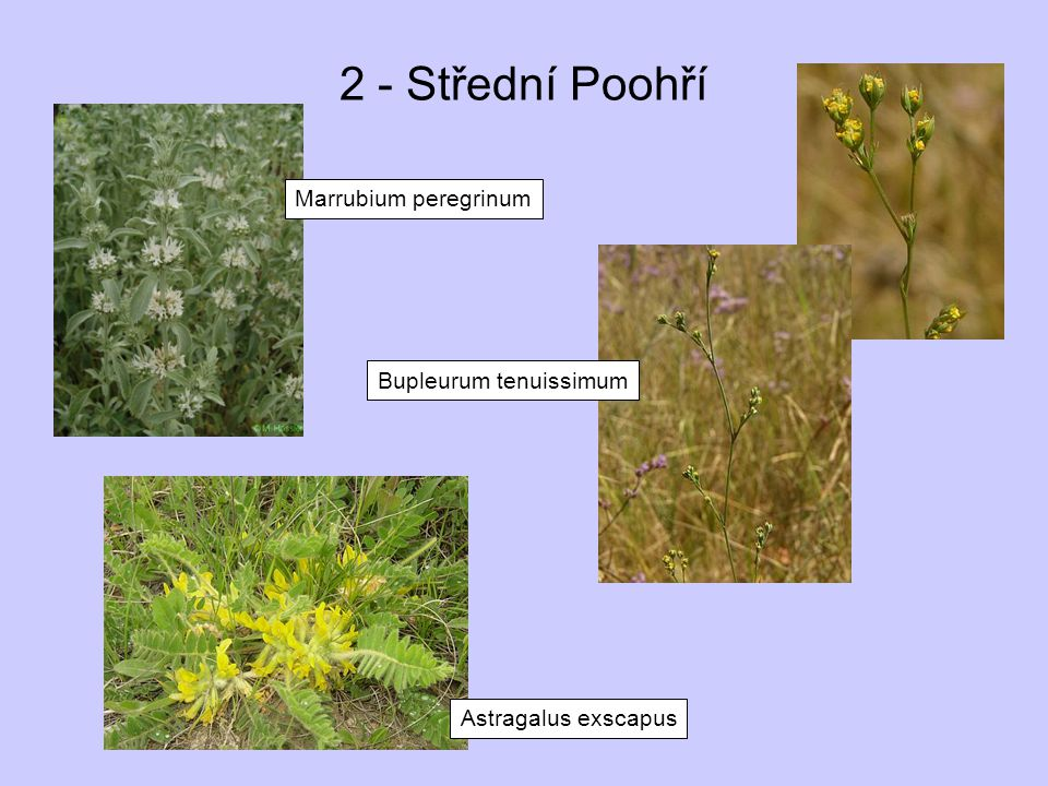 2 - Střední Poohří Marrubium peregrinum Bupleurum tenuissimum