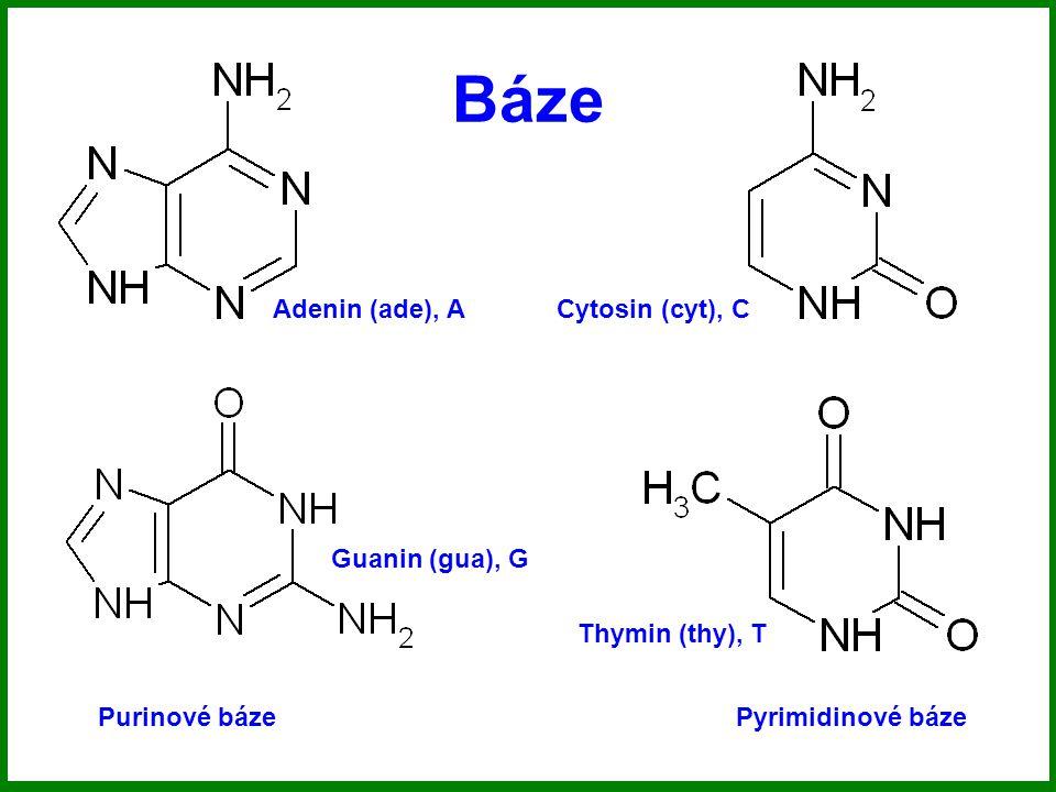 Báze Adenin (ade), A Cytosin (cyt), C Guanin (gua), G Thymin (thy), T