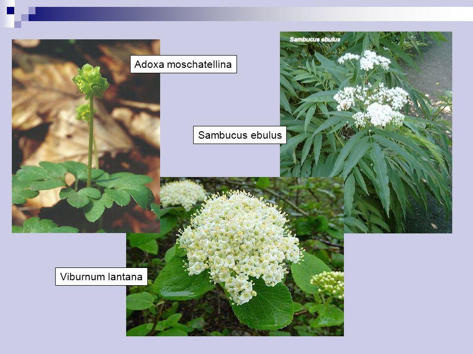 Adoxa moschatellina Sambucus ebulus Viburnum lantana