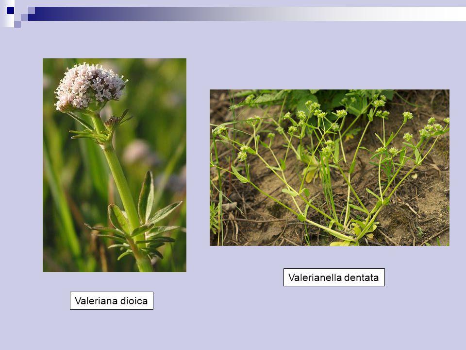 Valerianella dentata Valeriana dioica