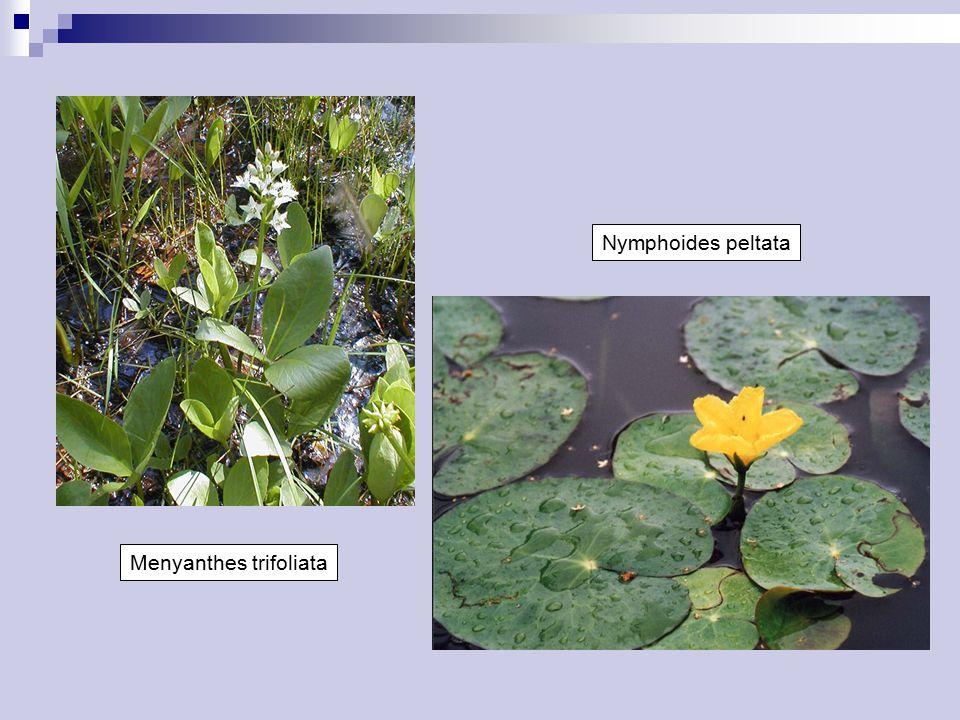 Nymphoides peltata Menyanthes trifoliata