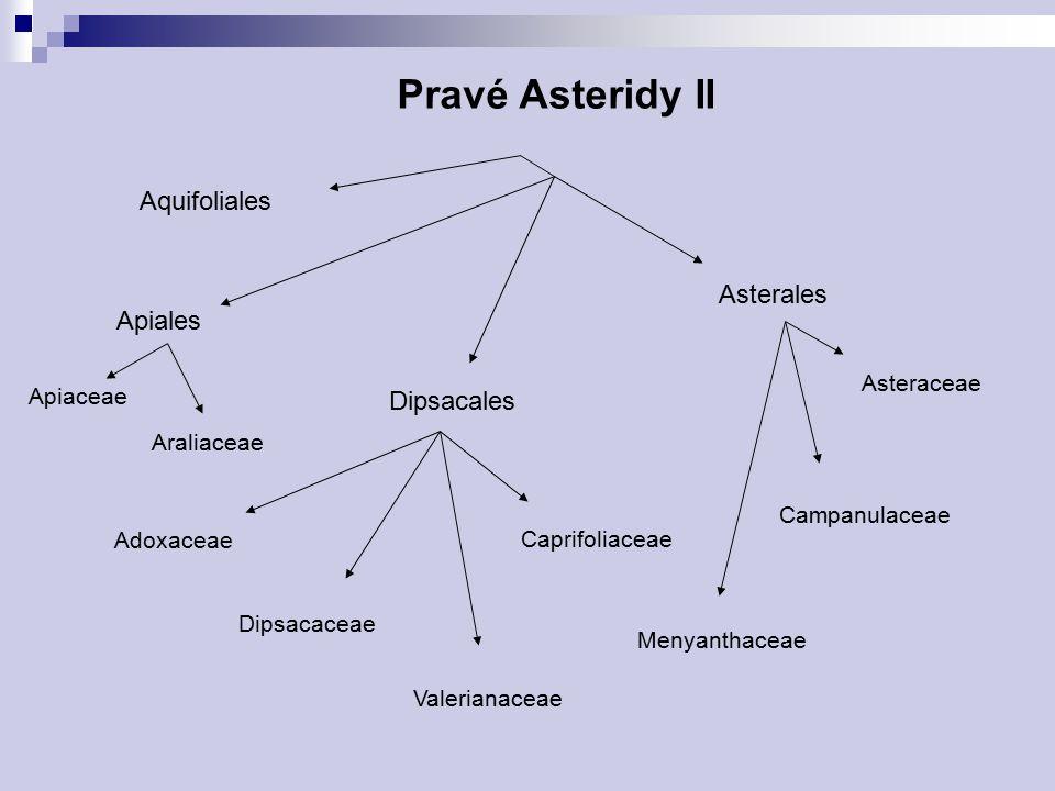 Pravé Asteridy II Aquifoliales Asterales Apiales Dipsacales Asteraceae