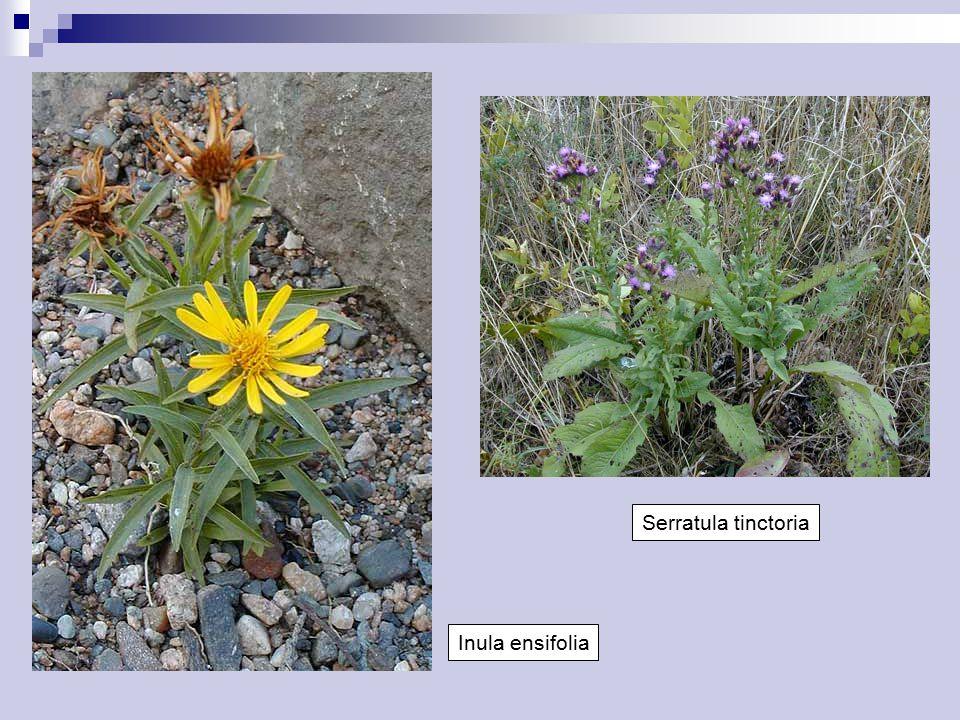 Serratula tinctoria Inula ensifolia