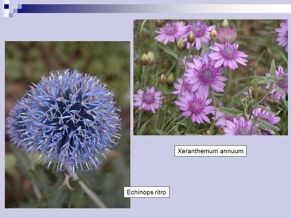 Xeranthemum annuum Echinops ritro