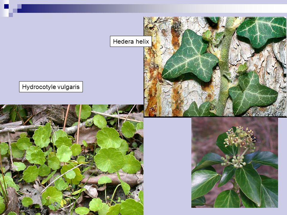 Hedera helix Hydrocotyle vulgaris