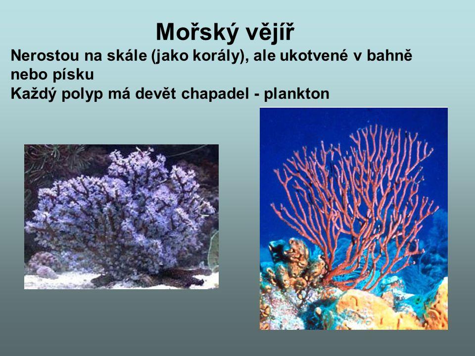 Mořský vějíř Nerostou na skále (jako korály), ale ukotvené v bahně