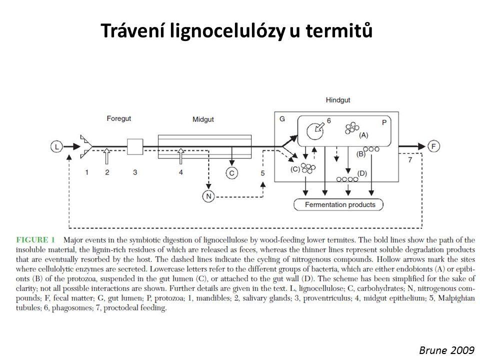 Trávení lignocelulózy u termitů