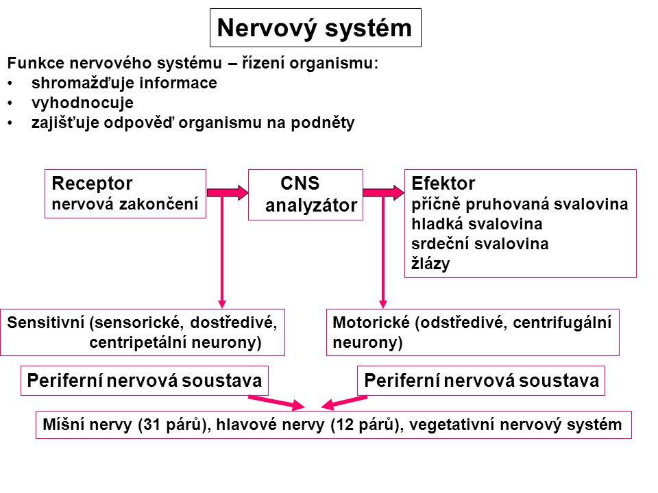 Nervový systém Receptor CNS analyzátor Efektor