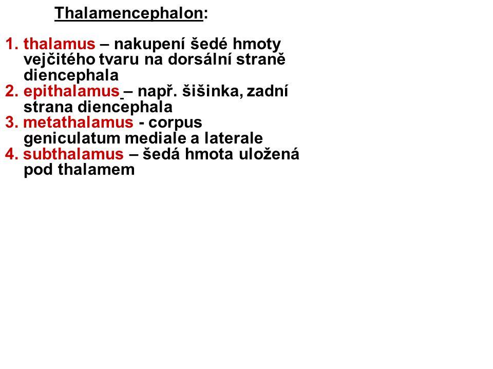 Thalamencephalon: thalamus – nakupení šedé hmoty vejčitého tvaru na dorsální straně diencephala.