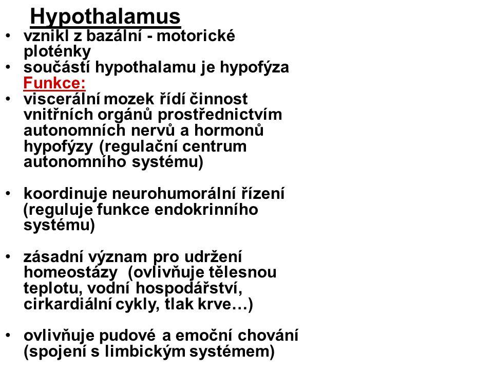 Hypothalamus vznikl z bazální - motorické ploténky