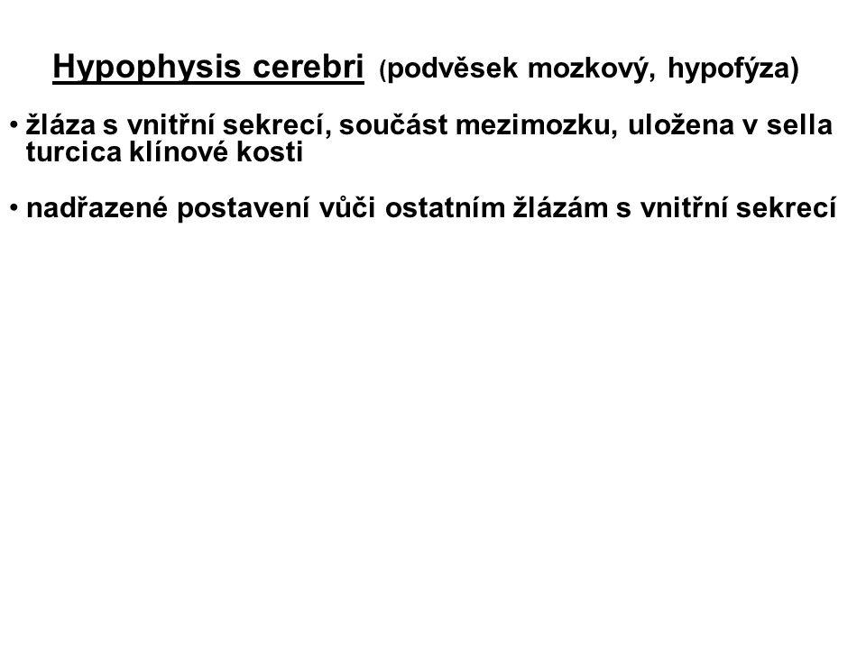 Hypophysis cerebri (podvěsek mozkový, hypofýza)