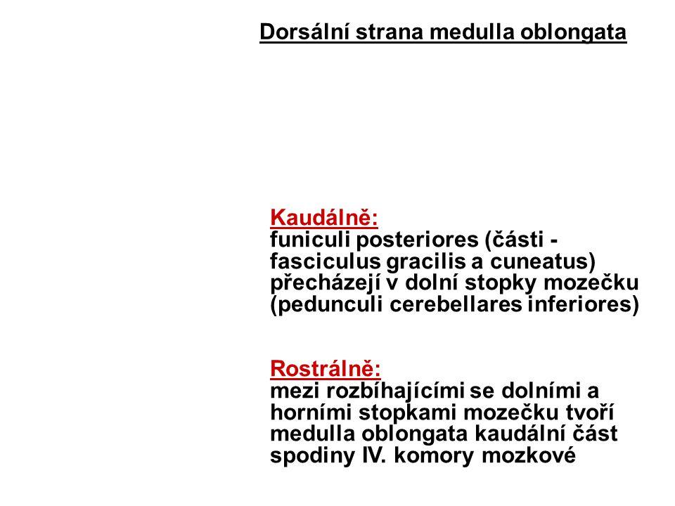 Dorsální strana medulla oblongata