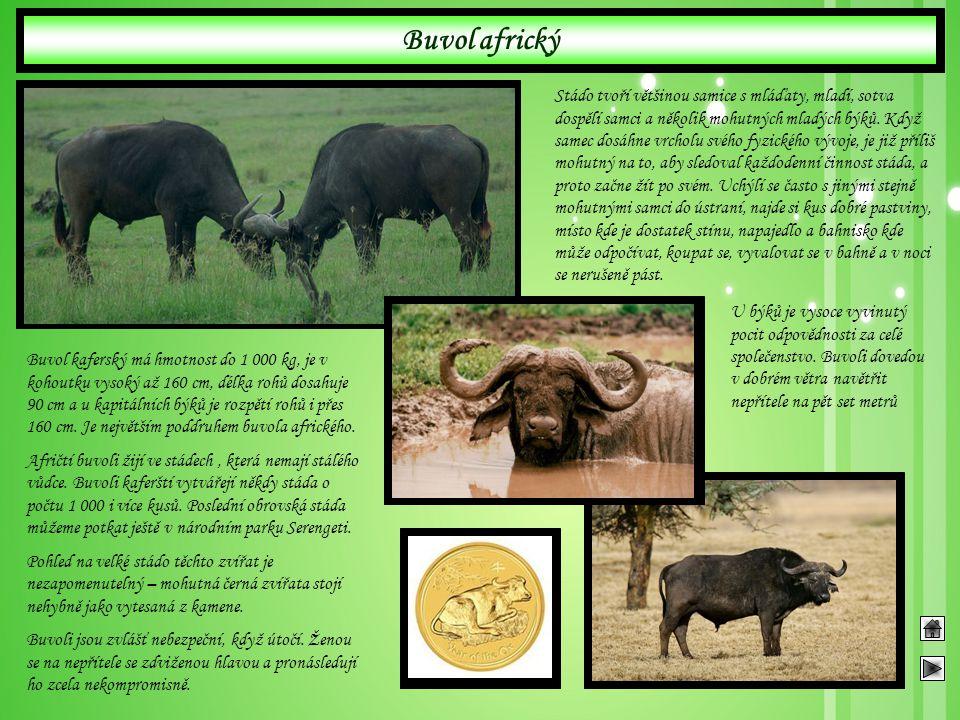 Buvol africký