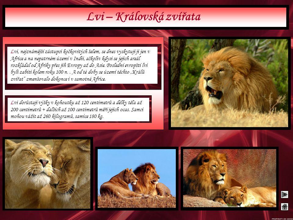 Lvi – Královská zvířata