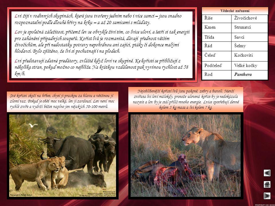 Lvi žijí v rodinných skupinách, které jsou tvořeny jedním nebo i více samci – jsou snadno rozpoznatelní podle dlouhé hřívy na krku – a až 20 samicemi s mláďaty.