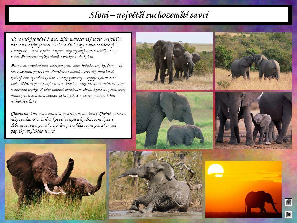 Sloni – největší suchozemští savci