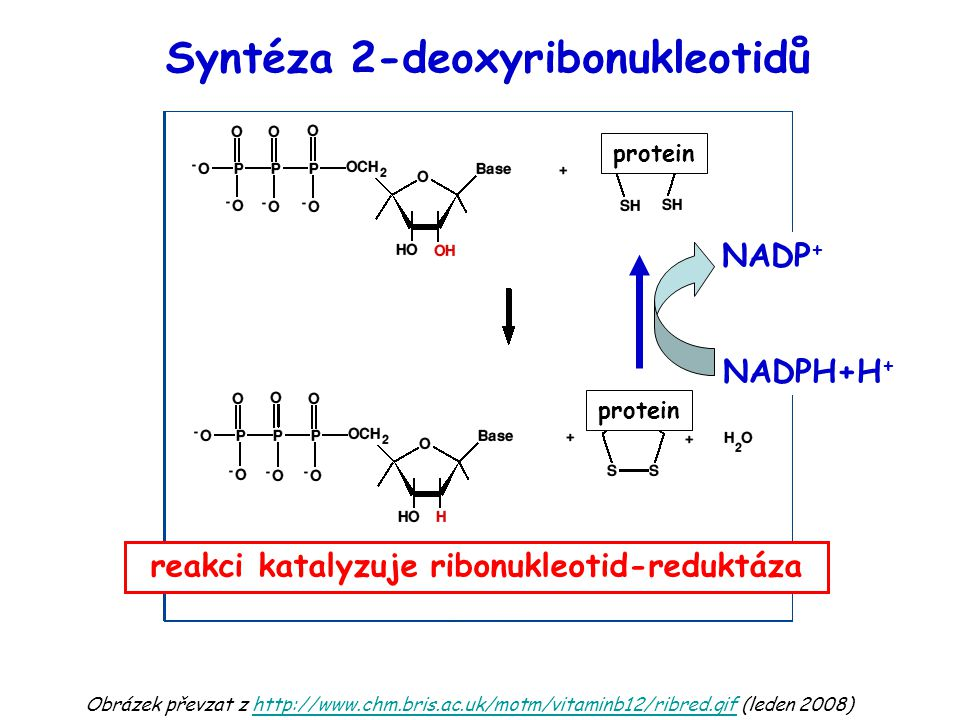 Syntéza 2-deoxyribonukleotidů