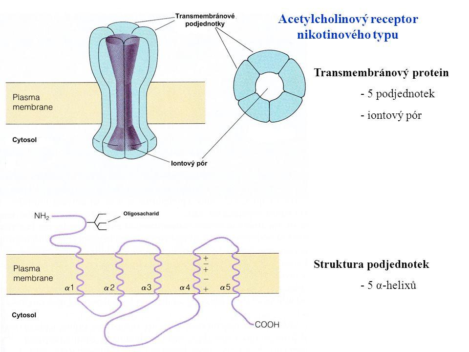 Acetylcholinový receptor nikotinového typu