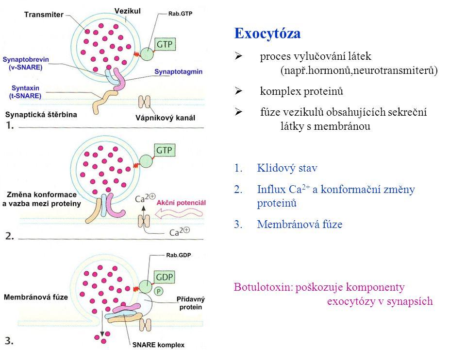 Exocytóza proces vylučování látek (např.hormonů,neurotransmiterů)