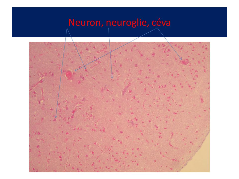 Neuron, neuroglie, céva