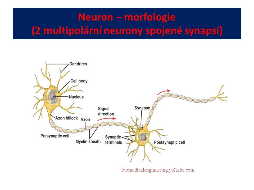 Neuron – morfologie (2 multipolární neurony spojené synapsí)
