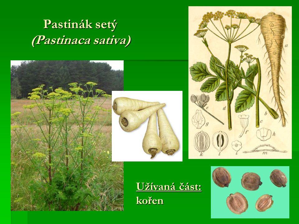 Pastinák setý (Pastinaca sativa)