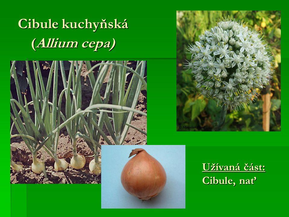 Cibule kuchyňská (Allium cepa)