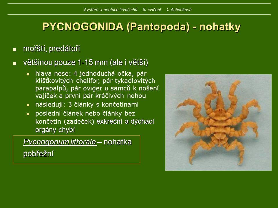 PYCNOGONIDA (Pantopoda) - nohatky