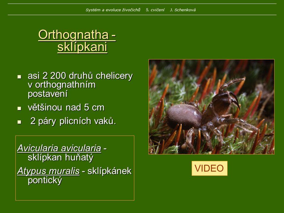 Orthognatha - sklípkani