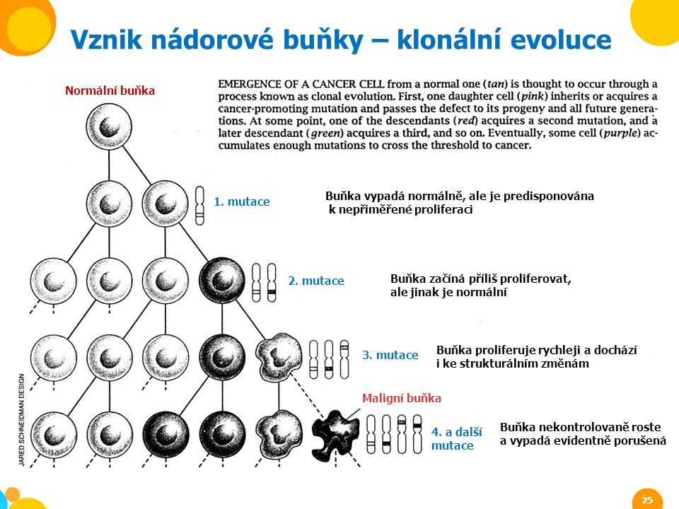 Vznik nádorové buňky – klonální evoluce
