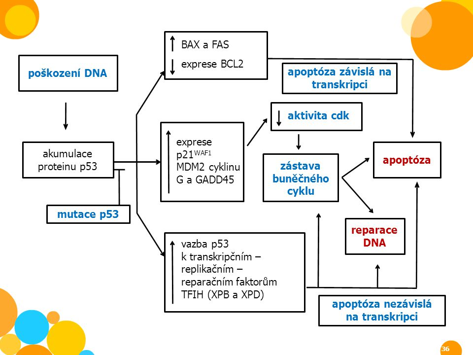 apoptóza závislá na transkripci