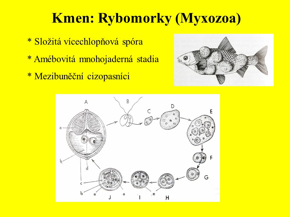 Kmen: Rybomorky (Myxozoa)