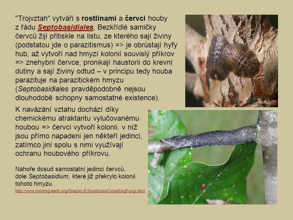 Trojvztah vytváří s rostlinami a červci houby z řádu Septobasidiales