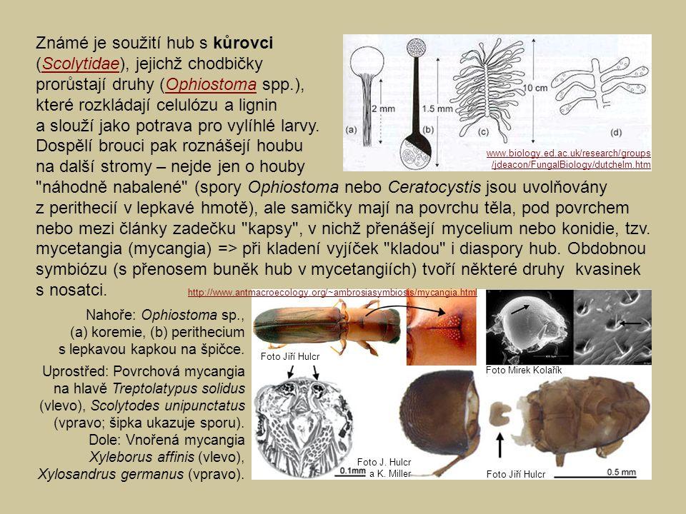 Známé je soužití hub s kůrovci (Scolytidae), jejichž chodbičky