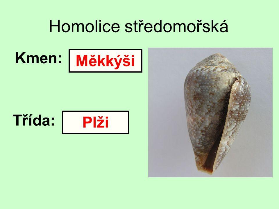 Homolice středomořská