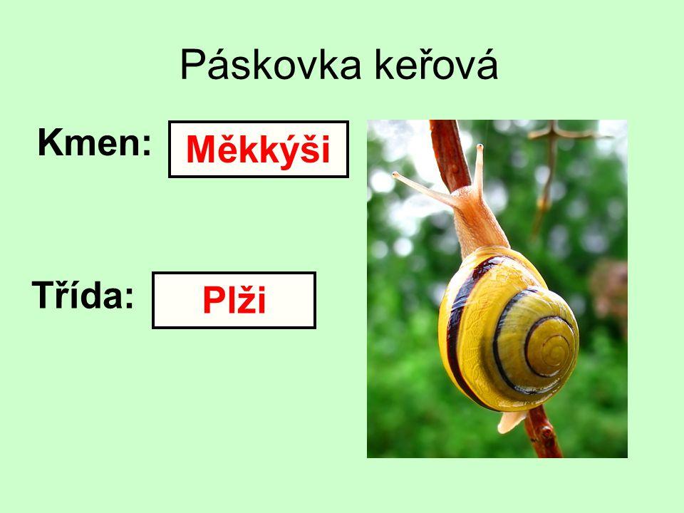 Páskovka keřová Kmen: Měkkýši Třída: Plži