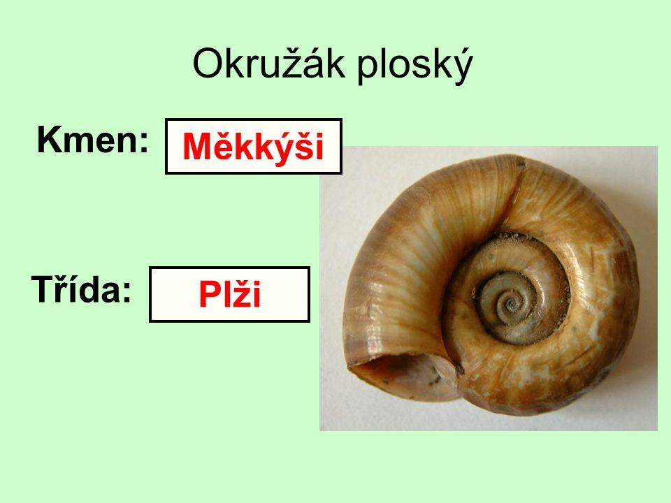 Okružák ploský Kmen: Měkkýši Třída: Plži