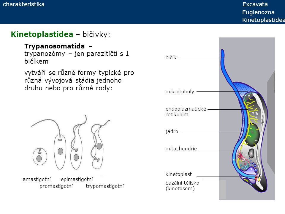 Kinetoplastidea – bičivky:
