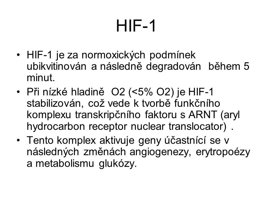 HIF-1 HIF-1 je za normoxických podmínek ubikvitinován a následně degradován během 5 minut.