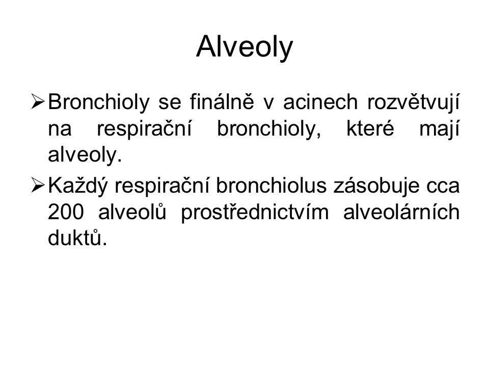 Alveoly Bronchioly se finálně v acinech rozvětvují na respirační bronchioly, které mají alveoly.