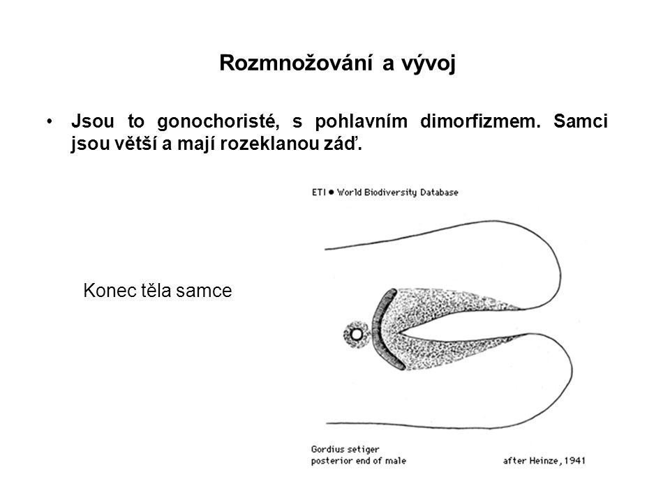 Rozmnožování a vývoj Jsou to gonochoristé, s pohlavním dimorfizmem. Samci jsou větší a mají rozeklanou záď.
