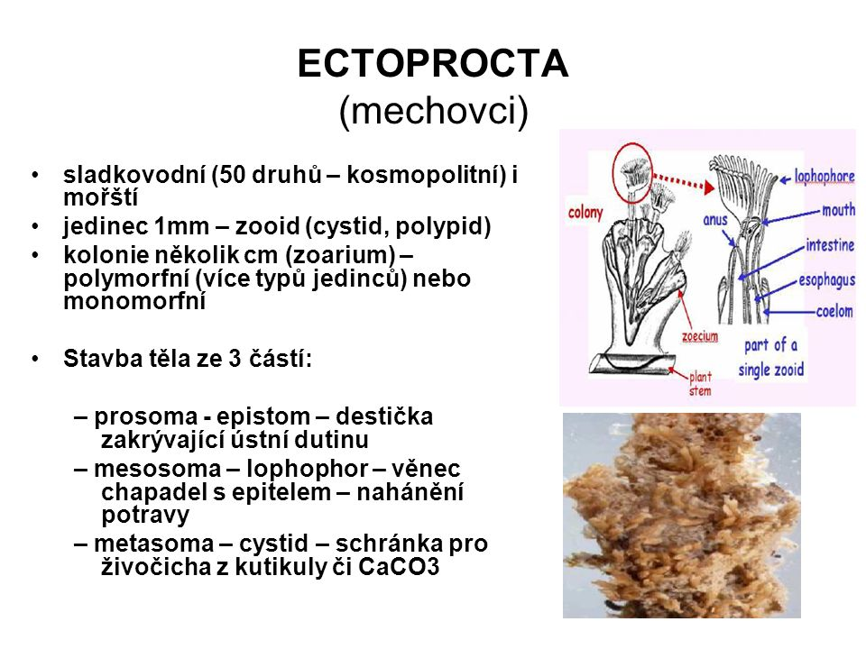 ECTOPROCTA (mechovci)