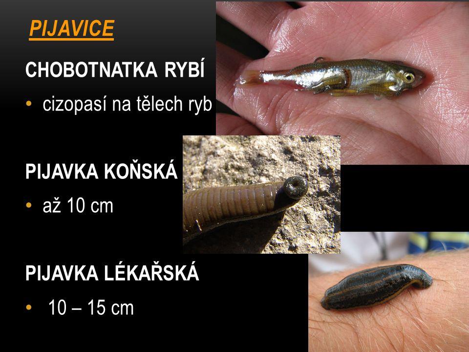 PIJAVICE CHOBOTNATKA RYBÍ cizopasí na tělech ryb PIJAVKA KOŇSKÁ
