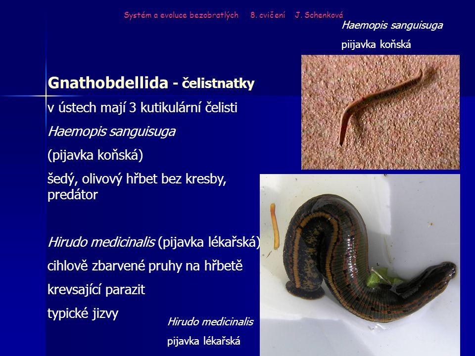 Gnathobdellida - čelistnatky