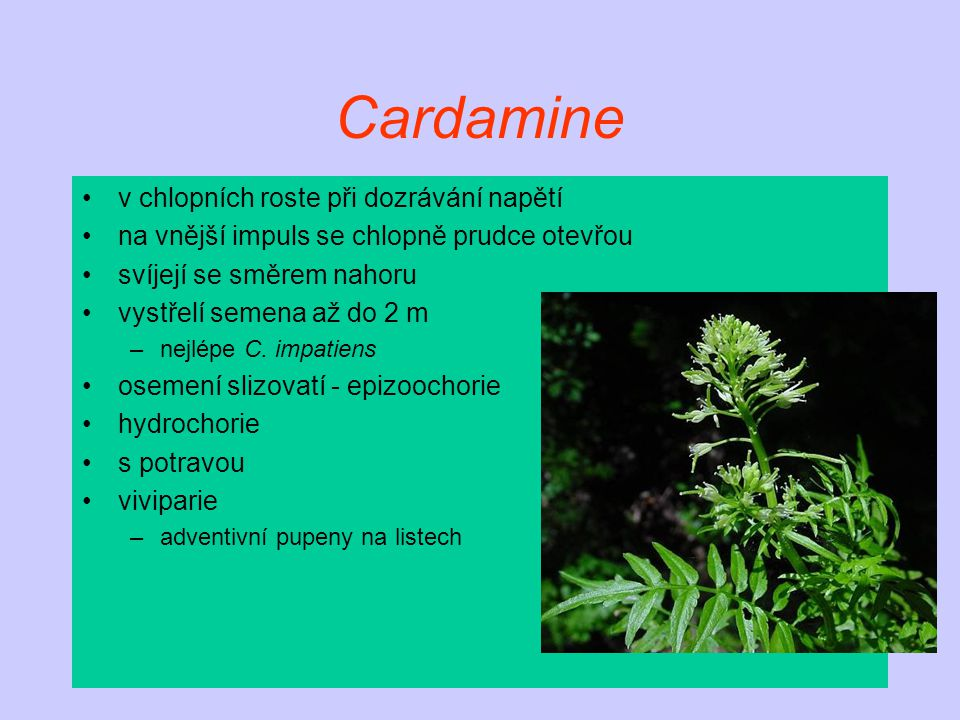 Cardamine v chlopních roste při dozrávání napětí