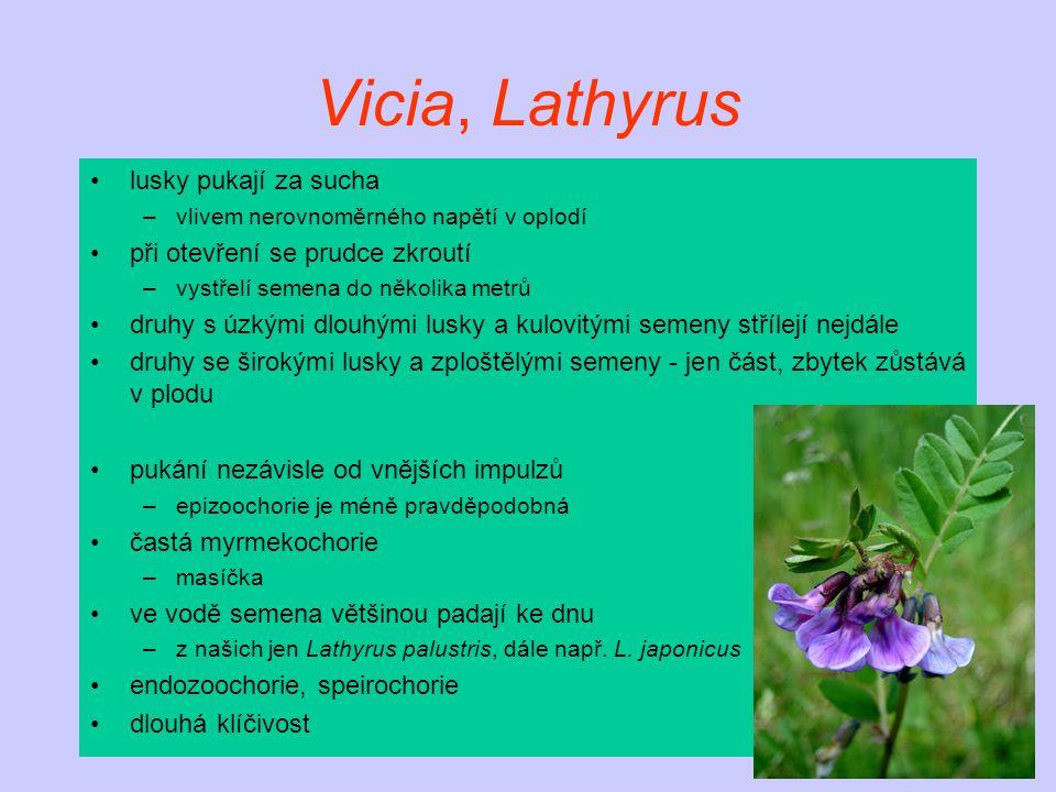 Vicia, Lathyrus lusky pukají za sucha při otevření se prudce zkroutí
