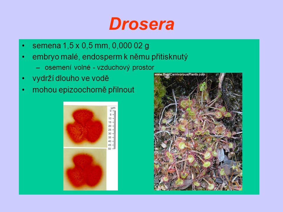 Drosera semena 1,5 x 0,5 mm, 0,000 02 g. embryo malé, endosperm k němu přitisknutý. osemení volné - vzduchový prostor.