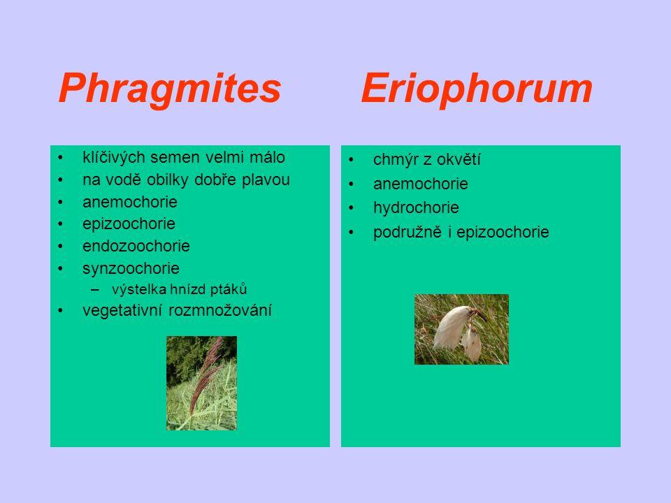 Phragmites Eriophorum