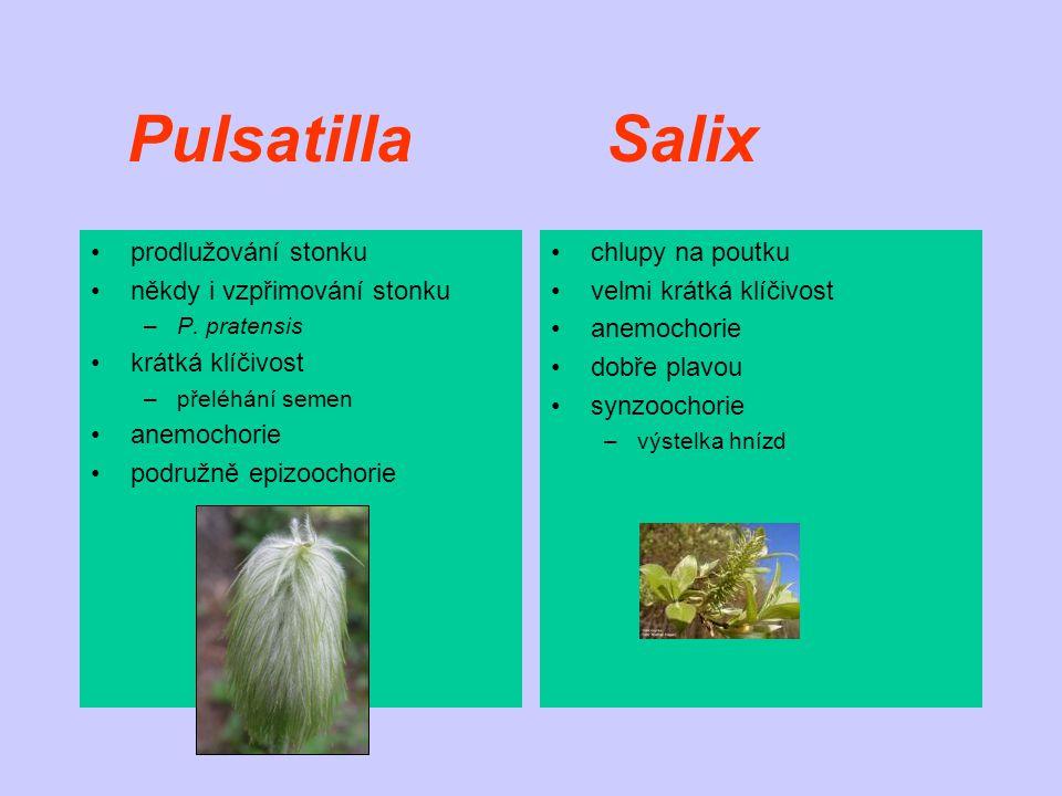 Pulsatilla Salix prodlužování stonku někdy i vzpřimování stonku